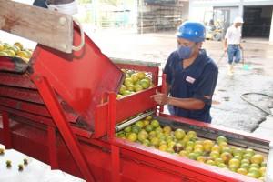 Proceso de selección del fruto garantiza la calidad de la bebida